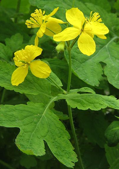 lastovičník väčší Chelidonium majus L.