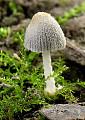 hnojník pavučinkový