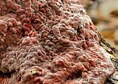 kornatka dubová