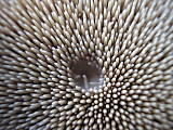 jelenkovec škridlicovitý