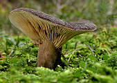 rýdzik sadzový