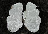 bielohľuzovka obyčajná
