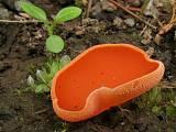 tanierovka oranžová