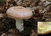 rýdzik žltomliečny