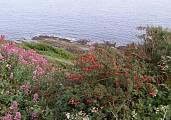 typicke kvety Irska