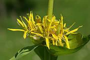 horec žltý - hořec žlutý