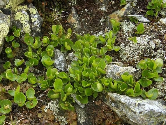 Vŕba bylinná salix herbacea l