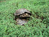 eastern Box Turtle - korytnacky