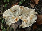 koralovec trúdnikovitý