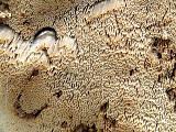 trúdnikovček vŕbový