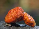 mäsovica oranžová