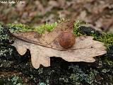 hrčiarka dubová