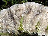 trúdnikovec pásikavý