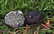 čiernohľuzovka kartuziánska