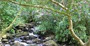 príroda v Irsku s divým rododendronom