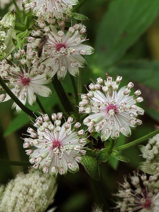 jarmanka väčšia Astrantia major L.