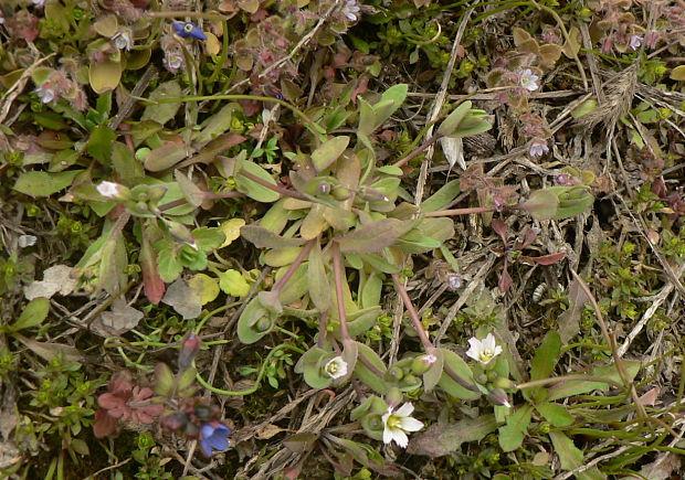 621512f6085 Nahuby.sk - Fotografia - burinka okolíkatá - plevel okoličnatý ...