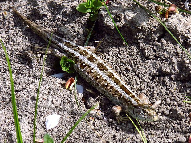 53c52aacc Nahuby.sk - Fotografia - jašterica krátkohlavá Lacerta agilis