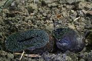 černúšik prostredný