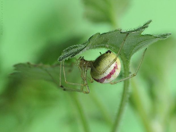 pradiarka bodkovaná Enoplognatha ovata var. redimita Linnaeus