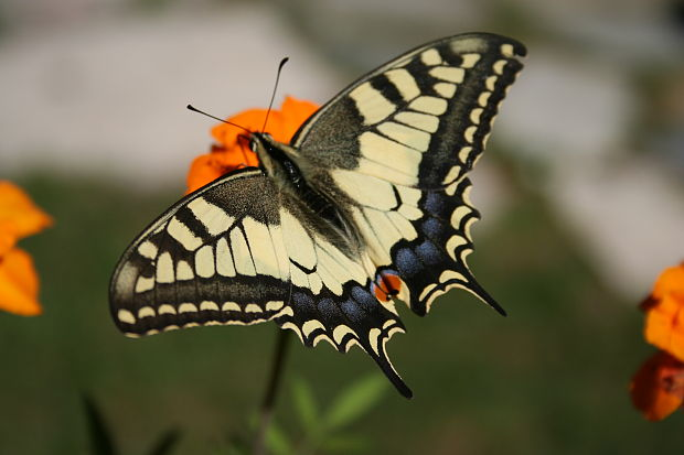 vidlochvost Papilio machaon