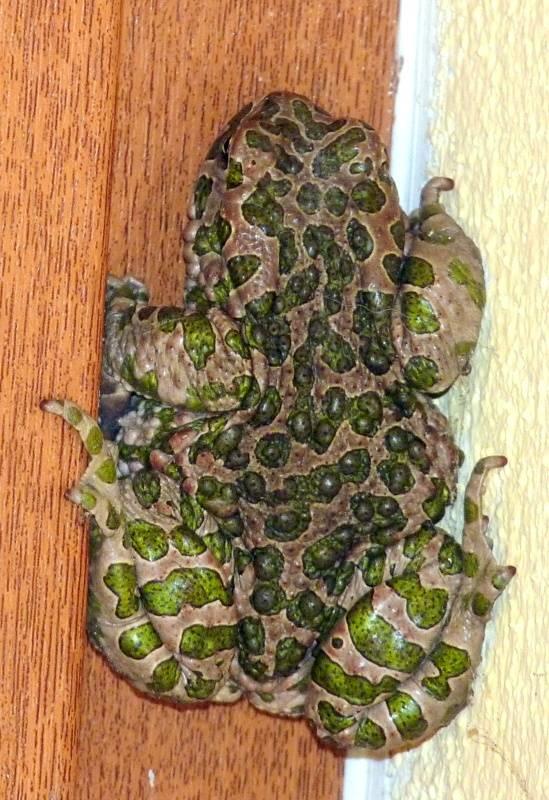 eb97e4bea Nahuby.sk - Fotografia - ropucha zelená Pseudepidalea viridis