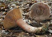 rýdzik hrdzavohnedý