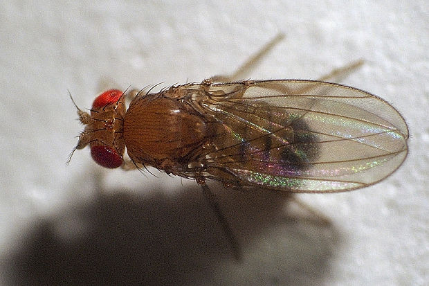 octomilka Drosophila