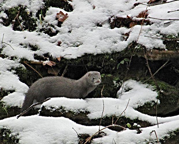 Nahuby.sk - Fotografia - tchor mink -norek americký Neovison vison 60dd480916