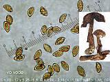 pavučinovec zavalitý