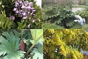 gunnera, wisteria, štedrec