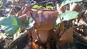 hríb dubový (pred odkrytím)