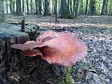 pečeňovec dubový