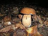 hríb dubový