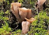 lievikovec kyjakovitý