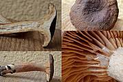 rýdzik plošticcový