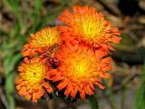 chlpánik oranžový