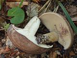 rýdzik fialovejúci