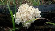 koralovec bukový