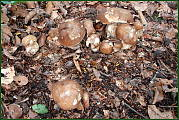 hríby dubove