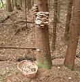 podpňovka smreková