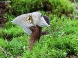 rýdzik čiernozamatový