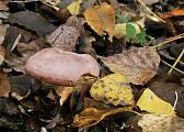rýdzik hnedastoružový
