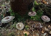 rýdzik brezový