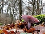 pôvabnica fialová