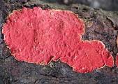kožnačka červená