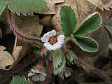 nátržník drobnokvetý