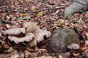 rýdzik hnedozelený