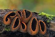 pakorienkovka čierna