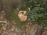 hríb dubový (hrabový?)